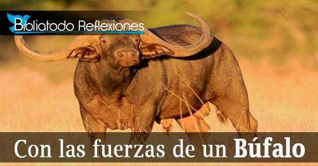 Con las fuerzas de un Búfalo